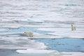 Polar bears bear in natural environment Stock Photography