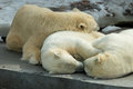 Polar bears family sleeping animals group of mother and cubs having a rest alltogether Stock Photos