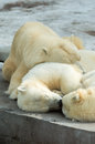 Polar bears family sleeping animals group of mother and cubs having a rest alltogether Stock Image