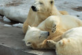 Polar bears family sleeping animals group of mother and cubs having a rest alltogether Royalty Free Stock Photo