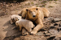 Polar bears mother bear and her two young kids Royalty Free Stock Photography
