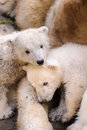 Polar bears mother bear and her two young kids Stock Photo