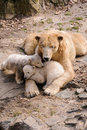 Polar bears mother bear and her two young kids Royalty Free Stock Image