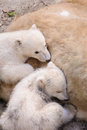 Polar bears mother bear and her two young kids Royalty Free Stock Images