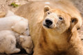 Polar bears mother bear and her two young kids Stock Image
