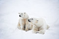 Polar bears pair Stock Image