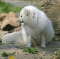 Polar Fox 7 Royalty Free Stock Photos