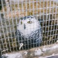 Polar owl The big white owl sits in a cage. Caged bird. Yellow eyes and wise eyes Royalty Free Stock Photo