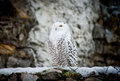 Polar owl male closeup the Royalty Free Stock Images