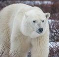Polar Portrait Royalty Free Stock Photo