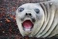 Polar seal Royalty Free Stock Photo