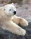 Polar white bear Stock Photo