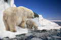 Polar white she bear with a bear cub to stand on ice Stock Photos