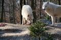 Polar wolf eats . Royalty Free Stock Photo