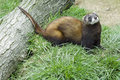 Polecat - Mustela putorius Royalty Free Stock Photo