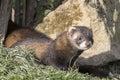 Polecat (Mustela putorius) Royalty Free Stock Photo