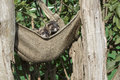 Polecat (Mustela putorius) Royalty Free Stock Photo