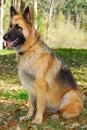 Police dog on alert Royalty Free Stock Photo