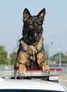 Police dog a german shepherd sits on top of his patrol car looking alert Stock Photos