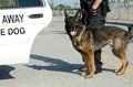 Police dog a with his handler about to get into his patrol car Royalty Free Stock Image