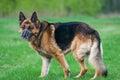 Police German shepherd dog on grass Royalty Free Stock Photo