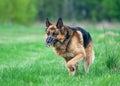 Police German shepherd dog running on grass Royalty Free Stock Photo