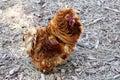 Picture : Polish Chicken a