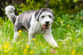 Polish Lowland Sheepdog Royalty Free Stock Photo