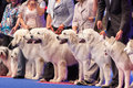 Polish tatra sheepdog july th paris france group of sheepdogs in the show ring at the world dog show Stock Photo