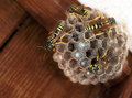Polistes dominula paper wasp nest with young by house doorway pest hexagon cells in larvae Stock Photos