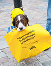 Political animal a spaniel dog taking part in the uk elections in support of the scottish national party snp carrying a bag with a Stock Photography