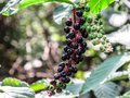 Polk Berries growing the foothills of the Great Smoky Mountains Royalty Free Stock Photo