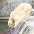 Pollar bear white reaching the water Stock Image