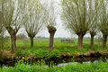 Pollard willows in landscape Royalty Free Stock Photo