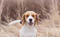 Pollen allergy symptoms beagle dog Royalty Free Stock Image