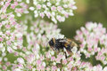 Pollen Covered Bee On Sedum Flower Head Stock Images