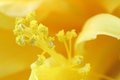 Pollen grains of the ruffled hibiscus closeup photo Stock Photo