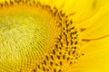 Pollen yellow sunflower close up Royalty Free Stock Photo