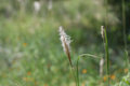 Pollinating Grass