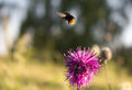 Pollination bee flies from flower Stock Image