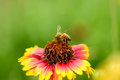 Pollination bee pollinating on a blanket flower Royalty Free Stock Photos