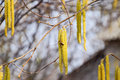 Pollination by bees earrings hazelnut. Flowering hazel hazelnut. Royalty Free Stock Photo