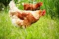 Pollo de brown en hierba Foto de archivo
