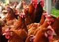 Pollos en granja avícola libre tradicional de la gama Foto de archivo libre de regalías