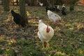 Pollos Free-range Imagen de archivo libre de regalías