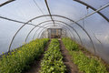 Poly tunnel in springtime a with flowering salad plant crops Stock Photo