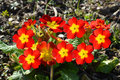 Polyanthus pacific giants a close up of Stock Images