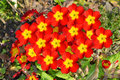 Polyanthus pacific giants a close up view of flowers Stock Images