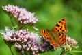 Polygonia c-album Royalty Free Stock Photo