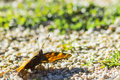 Polygonia c album orange butterfly in the soil Stock Photo